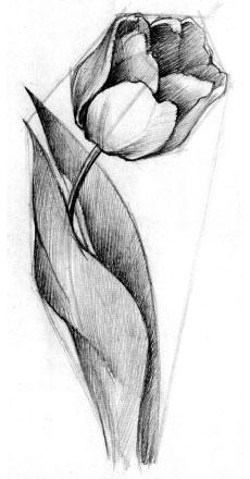 Тюльпаны поэтапно рисовать